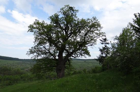 Stejar de balta din Posmus