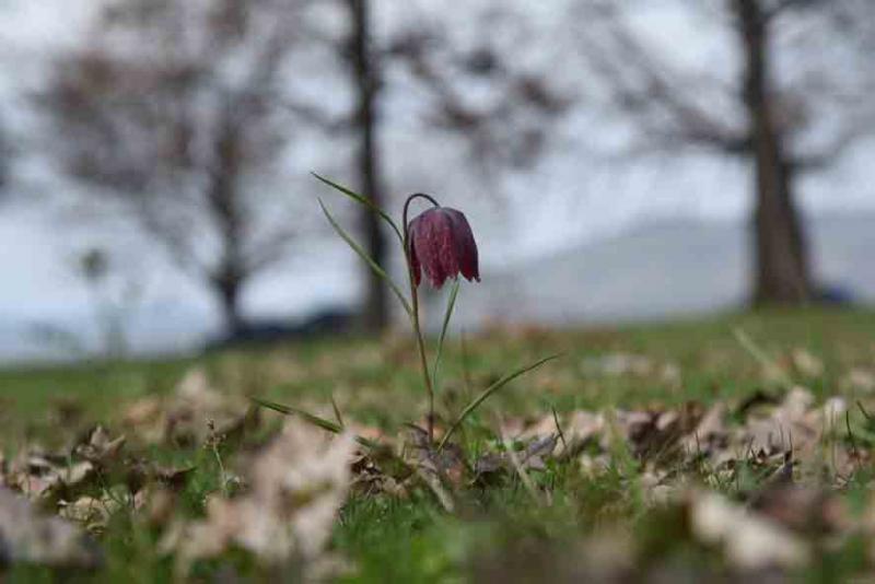 Pestrita tulip