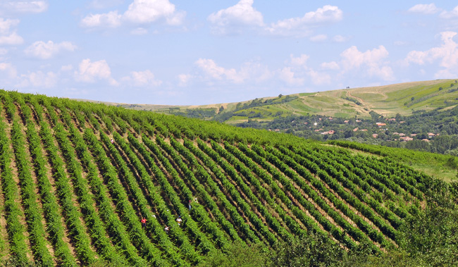 Culpiului Vineyards