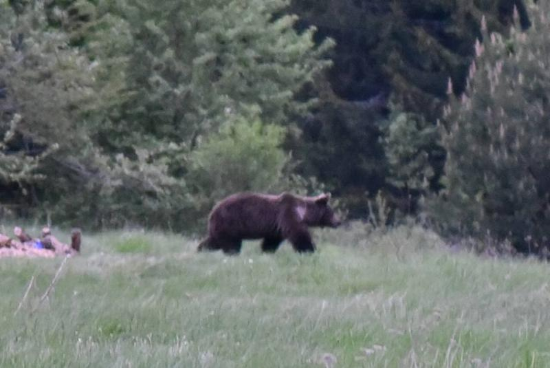 Observarea Ursului in Fagaras